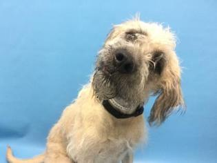 View Ad Mastiff Poodle Standard Mix Dog For Adoption