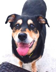 German Shepherd Dog-Rottweiler Mix Dog For Adoption in Spring Lake, NJ