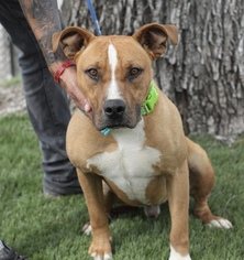 American Pit Bull Terrier Mix Dog For Adoption in Fresno, CA, USA