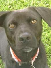 Labrador Retriever Mix Dog For Adoption in Miami, FL, USA