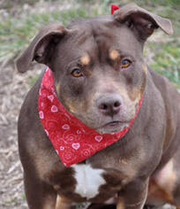 American Pit Bull Terrier Dog For Adoption in Richmond, VA, USA