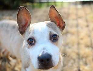 French Bulldog Dog For Adoption in Southampton, NY, USA