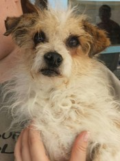 Parson Russell Terrier Mix Dog For Adoption in Porter Ranch, CA, USA