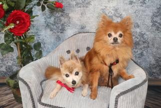 Pomeranian Dog For Adoption in Garland, TX