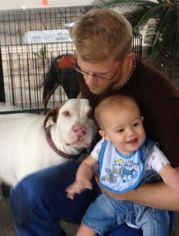 Lab-Pointer Dog For Adoption in Houston, TX, USA