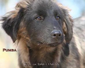 Golden Retriever Mix Dog For Adoption in Tyler, TX