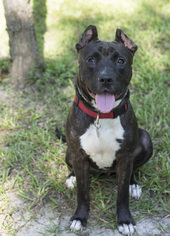American Staffordshire Terrier-Boxer Mix Dog For Adoption in Houston, TX, USA