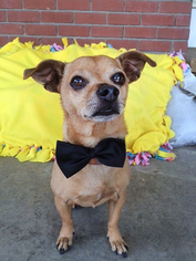 Chihuahua Mix Dog For Adoption in Midway City, CA