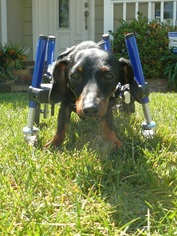 Dachshund Dog For Adoption in Hesperia, CA