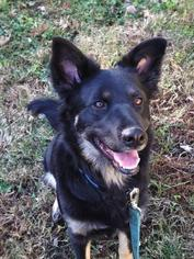 German Shepherd Dog Mix Dog For Adoption in Sterling, VA, USA