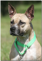 American Staffordshire Terrier Mix Dog For Adoption in North Fort Myers, FL, USA