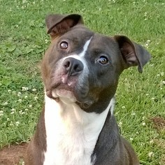 American Pit Bull Terrier Mix Dog For Adoption in Goodlettsville, TN, USA