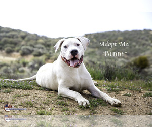 Puppyfinder com: Dogo Argentino dogs for adoption near me in