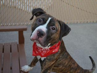 American Pit Bull Terrier Mix Dog For Adoption in New York, NY