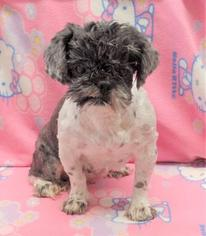 Shih Tzu Dog For Adoption in Lake Forest, CA, USA