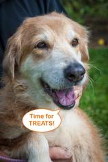 Golden Retriever Mix Dog For Adoption in Naples, FL, USA