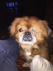 Pekingese Dog For Adoption in Mooresville, NC, USA