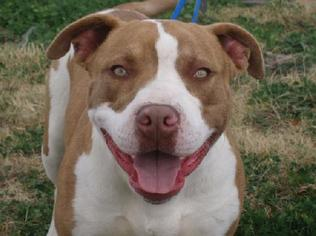 American Pit Bull Terrier Dog For Adoption in Liverpool, TX, USA