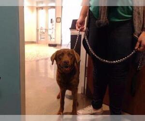 Chesapeake Bay Retriever Dogs for adoption in Houston, TX, USA