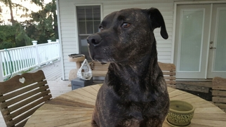 American Pit Bull Terrier-Labrador Retriever Mix Dog For Adoption in Gettysburg, PA, USA