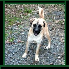 Black Mouth Cur-Pug Mix Dog For Adoption in Minneapolis, MN, USA