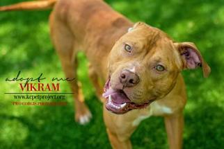 American Pit Bull Terrier Mix Dog For Adoption in Kansas City, MO