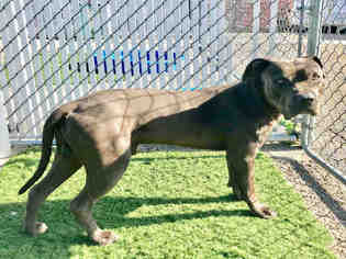 American Pit Bull Terrier Dog For Adoption in Redlands, CA, USA