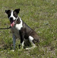 American Pit Bull Terrier Mix Dog For Adoption in Bertram, TX
