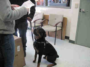 Puppyfindercom Rottweiler Dogs For Adoption Near Me In Virginia
