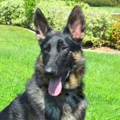 German Shepherd Dog Dog For Adoption in San Diego, CA