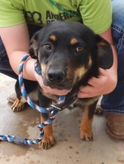 Rottweiler Mix Dog For Adoption in Amarillo, TX, USA