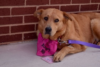 Golden Retriever Dog For Adoption in FORT WORTH, TX, USA