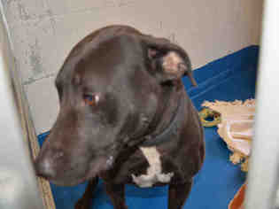 American Pit Bull Terrier Dog For Adoption in Pearland, TX