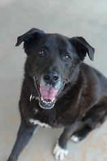 Labrador Retriever Dog For Adoption in Kanab, UT, USA