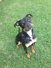 Rottweiler Mix Dog For Adoption in Tomball, TX
