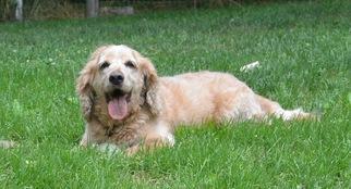 Cocker Spaniel Dog For Adoption in Flushing, NY, USA