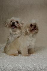 Maltese Dog For Adoption in Weston, FL
