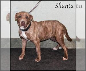Small American Staffordshire Terrier