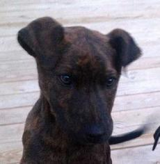 Labrador Retriever Mix Dog For Adoption in Tyler, TX, USA