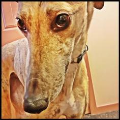 Greyhound Dog For Adoption in Geneva, OH, USA