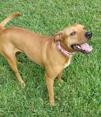 Black Mouth Cur Mix Dog For Adoption in Houston, TX