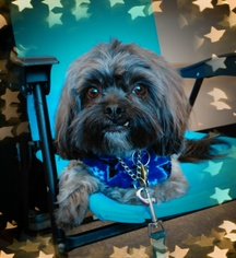 Shih Tzu Mix Dog For Adoption in Euless, TX, USA