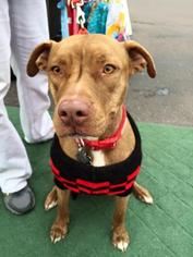 American Staffordshire Terrier-Labrador Retriever Mix Dog For Adoption in CHANDLER, AZ, USA