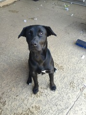 Labrador Retriever Mix Dog For Adoption in Houston, TX