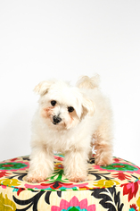 Maltese Dog For Adoption in St. Louis Park, MN, USA