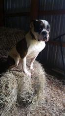 American Bulldog Mix Dog For Adoption in Foristell, MO, USA