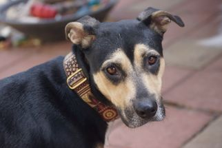 Mutt Dog For Adoption in Holly Springs, NC, USA