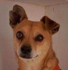Chihuahua Mix Dog For Adoption in Las Cruces, NM