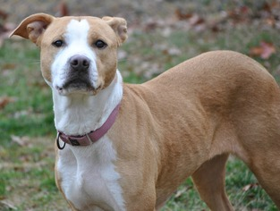 American Pit Bull Terrier Mix Dog For Adoption in Spring Lake, NJ, USA