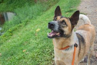 View Ad: German Shepherd Dog-Red Heeler Mix Dog for Adoption